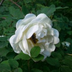 Красивые цветы – роза ругоза
